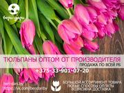Продажа тюльпанов оптом. Минск