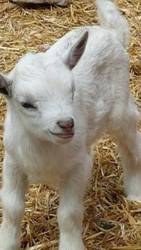 Продам козлят и козочку,  срочно