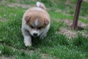 Акита-ину высокопородные щенки из проф.питомника