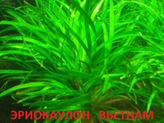 Эриокаулон вьетнам. НАБОРЫ растений для запуска. Почтой и МАРШРУТКОЙ