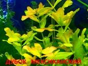 Дубок мексиканский. НАБОРЫ растений для запуска акваса. П0чтой отправл