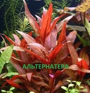 Альтернатера рейника. НАБОРЫ растений для запуска акваса. ПОЧТОЙ отпра