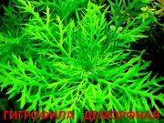 Синема  деморфная - НАБОРЫ растений для запуска. ПОЧТОЙ ОТПРАВ