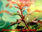 Прозерпинака палюстрис. НАБОРЫ растений для запуска. ПОчтой)