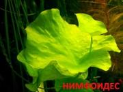Нимфоидес. НАБОРЫ растений для запуска. ПОЧТОЙ отправл