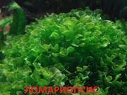Ломариопсис. НАБОРЫ растений для запуска акваса. ПОЧТОЙ отправл