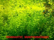 Хемиантус микроимоидес. НАБОРЫ растений для запуска. ПОЧТОЙ отправл