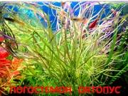 Погестемон октопус. НАБОРЫ растений для запуска акваса. ПОЧТОЙ отправ