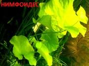 Нимфоидес и др растения. НАБОРЫ растений для запуска. ПОЧТОЙ