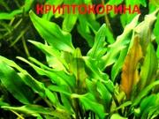 Криптокорина зеленая. НАБОРЫ растений для запуска акваса. ПОЧТОЙ