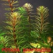 Ротала бангладеш. НАБОРЫ растений для запуска. УДОБРЕНИЯ. ПОЧТОЙ.