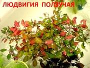 Людвигия ползучая. НАБОРЫ растений для запуска. УДОБРЕНИЯ. ПОЧТОЙ.