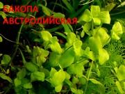 Бакопа австролийская. НАБОРЫ растений для запуска. УДОБРЕНИЯ. ПОЧТОЙ.