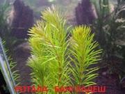 Роттала Бангладеш. НАБОРЫ растений для запуска. УДОБРЕНИЯ. ПОЧТОЙ.
