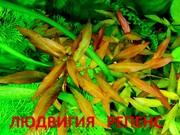 Людвигия гибридная. НАБОРЫ растений для запуска. УДОБРЕНИЯ. ПОЧТОЙ