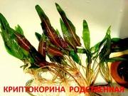 Криптокорина родственная. НАБОРЫ растений для запуска. УДОБРЕНИЯ. ПОЧ