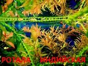Роттала индийская. НАБОРЫ растений для запуска. УДОБРЕНИЯ. ПОЧТОЙ