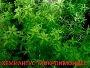 Хемиантус микроимоидес. НАБОРЫ растений для запуска. УДОБРЕНИЯ. ПОЧТ