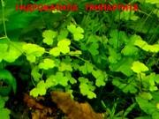 Гидрокатила трипартита. НАБОРЫ растений для запуска. УДОБРЕНИЯ. ПОЧТ