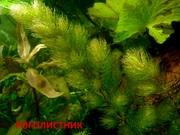 Роголистник. НАБОРЫ растений для запуска. УДОБРЕНИЯ. ПОЧТО
