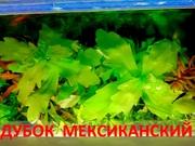 Дубок мексиканский. НАБОРЫ растений для запуска акваса. ПОЧТОЙ=