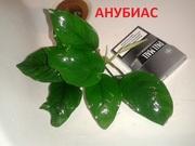 Анубиас нана. НАБОРЫ растений для запуска. УДОБРЕНИЯ. ПОЧТОЙ_