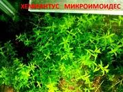 Хемиантус микроимоидес. НАБОРЫ растений для запуска. ПОЧТОЙ и МАРШРУ