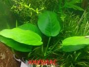 Анубиас нана. НАБОРЫ растений для запуска акваса. ПОЧТОЙ-