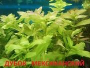Дубок мексиканский. НАБОРЫ растений для запуска акваса. ПОЧТОЙ-