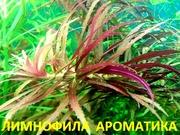 Лимнофила ароматика.. НАБОРЫ растений для запуска. ПОЧТОЙ-