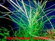 Погостемон октопус. НАБОРЫ растений для запуска. П0ЧТОЙ-