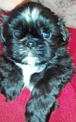 Девочка и мальчик щенки Ши-тцу редкого черного окраса.