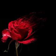 БЫСТРОЕ ОПРЕДЕЛЕНИЕ ПОРЧИ  Роза поможет