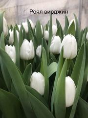 Оптовикам к 8 Марта предлагаем отличные тюльпаны