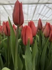 Тюльпан элитный Strong Love (Стронг Лав) красный цвет