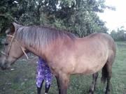 Продается лошадь,  возраст 13 лет. Спокойная,  приучена к сх работам. н