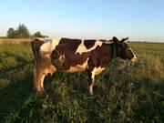 Продам корову молодую покрытую