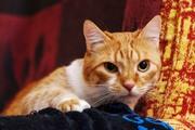 Ларик- брутальный рыжий котище