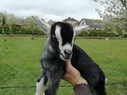 Продам камерунских коз и козлят
