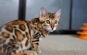 Бенгальские котята из питомника с документами